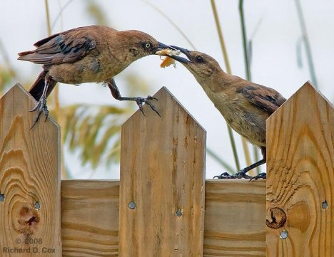 крадливи птици